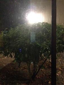 The shrub in Olympia, WA